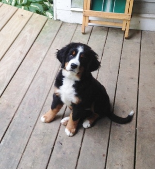 Bernese Mountain Puppies For Sale Raised In Ohios Heartland